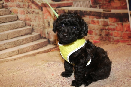 Marshall Male CKC Maltipoo $1750 Ready 11/2 SOLD MY NEW HOME JACKSONVILLE, FL 2.1LB 6W4D OLD