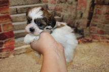 Mike Wazowski (Botzi) Male CKC Shihpoo $2000 Ready 11/5 SOLD MY NEW HOME GAINESVILLE, FL1.6LB 5W1D OLD