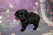 Mulligan (Prince) Male CKC Yorkipoo $2000 Ready 10/3 HAS DEPOSIT MY NEW HOME KINGSLAND, GA 1.5LB 7W4D