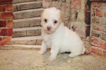 Nani Female CKC Malshipoo $1750 Ready 11/5 SOLD MY NEW HOME KINGSLAND, GA 12.8 oz 6W3D Old