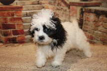 Oreo Male CKC Malshipoo $1750 JUST DISCOUNTED NOW $1500 WITH ALL PUPPY VACCINES Ready 9/17 SOLD MY NEW HOME PHOENIX, NY 4.1LB 12W2D OLD