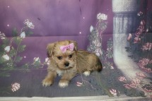 Paris (Brooklyn) Female CKC Shorkie $1750 Ready 10/10 HAS DEPOSIT 1.15LB 6W4D OLD