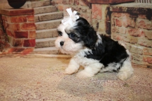 Pepsi Female Teddy Bear A/K/A Shichon $1750 Ready 11/1 HAS DEPOSIT MY NEW HOME ST JOHNS, FL 2.4lb 6w6d old