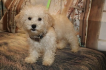 Prince Naueen Male CKC Shihpoo $1750 WAIT PUPPY SPECIAL NOW $1250 WITH ALL HIS PUPPY VACCINES INCLUDING HIS RABIES Ready 8/30 SOLD MY NEW HOME JACKSONVILLE, FL 5lbs 15 oz 17W4D Old