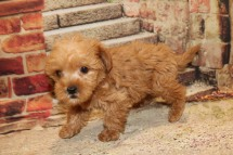 Pumpkin (Teddy) Male CKC Morkipoo $2000 Ready 10/22 SOLD MY NEW HOME ORANGE PARK, FL 1.15LB 7W OLD