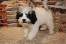 Ray Male CKC Shihpoo $1750 WAIT PUPPY SPECIAL NOW $1500 WITH ALL HIS PUPPY VACCINES INCLUDING RABIES VACCINE Ready 8/30 SOLD MY NEW HOME JACKSONVILLE, FL 4.10lb 14W4D OLD