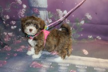 Reagan Female Havanese $2000 Ready 9/24 HAS DEPOSIT MY NEW HOME Myrtle Beach, SC 1.14LB 9W OLD