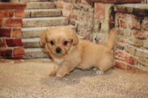 Squirt Male CKC Miki $2000 Ready 10/19 SOLD! MY NEW HOME MACON, GA! 1.13LB 7W OLD