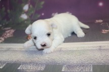Sugar Female CKC Havanese $1750 Ready 11/8 HAS DEPOSIT MY NEW HOME PONTE VEDRA BEACH, FL 13.5 oz 3 Wks Old