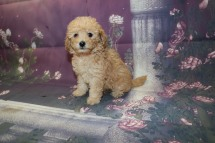 Summer (Maise) Female CKC Mini Labradoodle $2000 Ready 9/30 AVAHAS DEPOSIT MY NEW HOME JACKSOMVILLE, FL 1.10LB 8W2D OLD