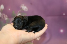 Tinker Belle Female CKC Yorkipoo $2000 Ready 11/27 HAS DEPOSIT ZINKE FAMILY 5 oz 1 Day Old