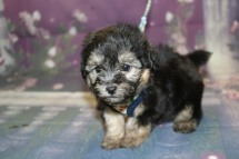 Tommy (Beau) Male CKC Havapoo $1750 Ready 10/12 SOLD MY NEW HOME IS SANFORD, FL 1LB 7.3 oz 6W3D OLD