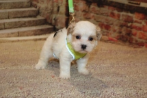 Boo Female CKC Shihpoo $1750 Ready 11/5 SOLD MY NEW HOME 1LB 7 oz 5W1D OLD