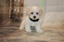 Casper Male CKC Maltipoo $1750 Ready 11/8 SOLD MY NEW HOME JACKSONVLLE, FL 2 lb 5 oz 8 Weeks Old