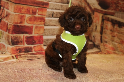 Marlin Male CKC Maltipoo $2000 Ready 11/2 SOLD MY NEW HOME MEXICO BEACH, FL 2lbs 1 oz 6W3D Old