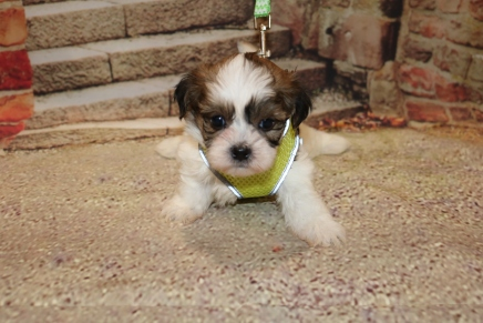 Mike Wazowski (Botzi) Male CKC Shihpoo $2000 Ready 11/5 SOLD MY NEW HOME GAINESVILLE, FL 1.6LB 5W1D OLD