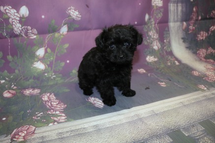 Mulligan (Prince) Male CKC Yorkipoo $2000 Ready 10/3 SOLD MY NEW HOME MY NEW HOME FALL BRANCH, TN 1.5LB 7W4D