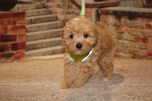 Dory Female CKC Maltipoo $1750 Ready 11/2 SOLD MY NEW HOME GAINESVILLE, FL 1 lbs 13 oz 6W3D Old