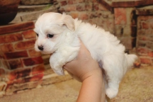 Ghost Male CKC Maltipoo $1750 Ready 11/8 SOLD MY NEW HOME JACKSONVILLE, FL 1lb 15 oz 5Weeks Old