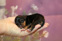 Mickey Male CKC Yorkipoo $2000 Ready 11/27 HAS DEPOSIT MY NEW HOME PALM COAST, FL 4.5 oz 1 Day Old