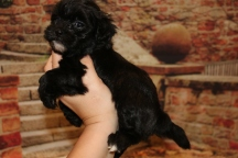 Sullivan Male CKC Shihpoo $1750 Ready 11/5 SOLD MY NEW HOME VALDOSTA, GA 1.12LB 5W1D OLD