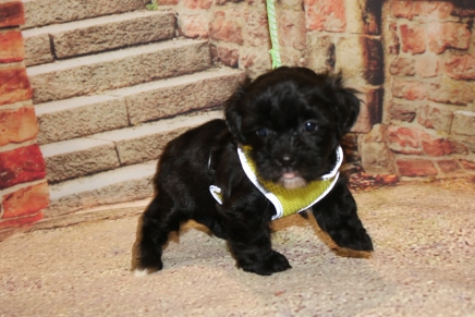 Sullivan (Teddy) Male CKC Shihpoo $1750 Ready 11/5 SOLD MY NEW HOME VALDOSTA, GA 1LB 12 OZ 5W1D OLD