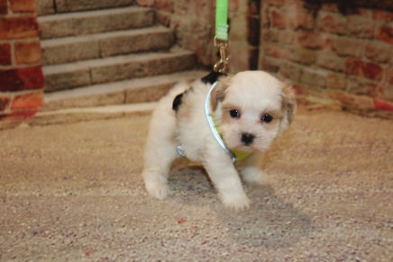 Boo Female CKC Shihpoo $1750 Ready 11/5 SOLD MY NEW HOME JACKSONVILLE, FL 1LB 7 oz 5W1D OLD