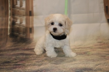 Casper Male CKC Maltipoo $1750 Ready 11/8 HAS DEPOSIT MY NEW HOME JACKSONVILLE, FL 2 lb 5 oz 8 Weeks Old