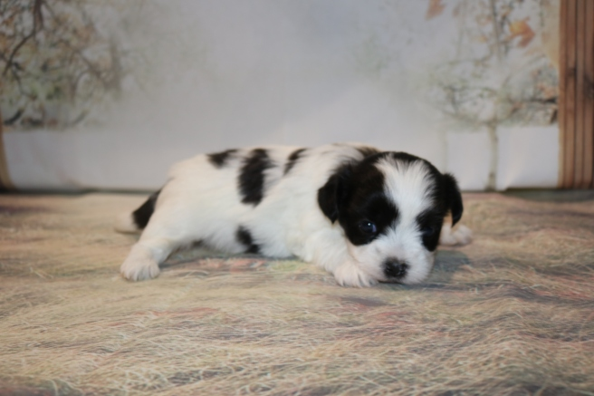 Ace Male CKC Malshipoo $1750 Ready 12/3 AVAILABLE 1.8LB 3W5D OLD