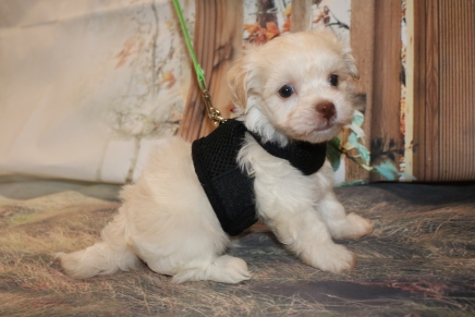 Bambino Male CKC Havanese $1750 Ready 11/22 AVAILABLE 1.9LB 5W5D OLD