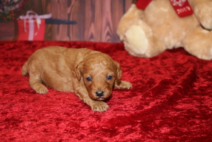 Bell Female CKC Mini Labradoodle $2000 Ready 12/23 HAS DEPOSIT MY NEW HOME INTERLACHEN, FL 1.5LB 3W OLD