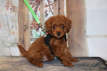 Blaze Male CKC Mini Labradoodle $2000 Ready 11/13 SOLD MY NEW HOME MARIETTA, GA 1 LB 15 oz 7W4D Old