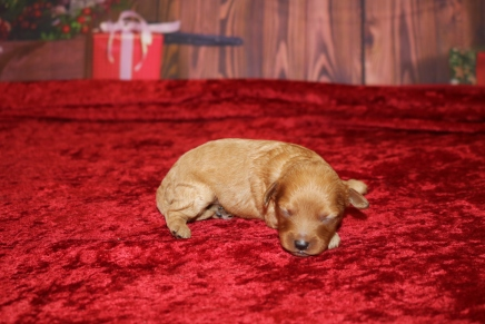 Brut Male Cavapoo $2000 Ready 1/4 AVAILABLE 9.3oz 8 days old