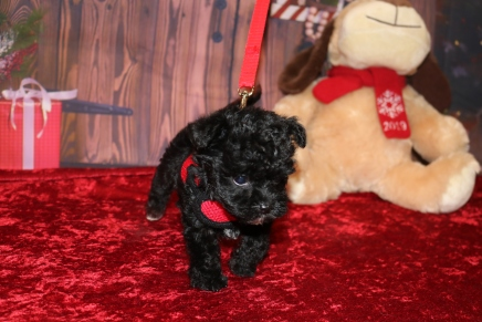 Cersei (Max) Female CKC Shorkipoo $1750 Ready 12/3 SOLD MY NEW HOME JACKSONVILLE, FL 1 lb 3.8OZ 5W5D OLD