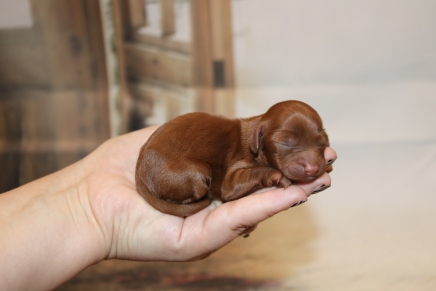 Chandon Female Cavapoo $2000 Ready 1/4 AVAILABLE 5.1 oz 1 Day Old