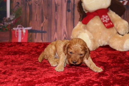 Christmas Male CKC Mini Labradoodle $2000 Ready 12/23 AVAILABLE 1.9LB 3W OLD