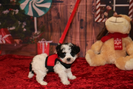 Danearys Female CKC Shorkipoo $1750 Ready 12/3 SOLD MY NEW HOME IS LONGWOOD, FL 1 lb 7.5OZ 5W5D OLD