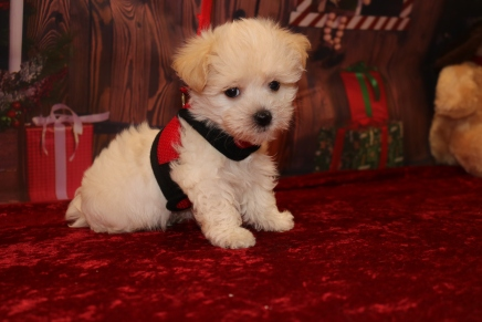 Dreamy Male CKC Havanese $1750 Ready 11/22 SOLD MY NEW HOME COLUMBUS,GA 1.11lb 7w4d old