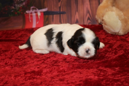 Elf Male CKC Shihpoo $1750 Ready 12/24 AVAILABLE 1.9lb 2w5d old
