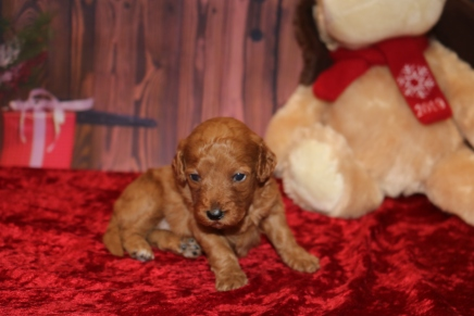 Eve Female CKC Mini Labradoodle $2000 Ready 12/23 HAS DEPOSIT MY NEW HOME WINDERMERE, FL 1.7LB 3W OLD
