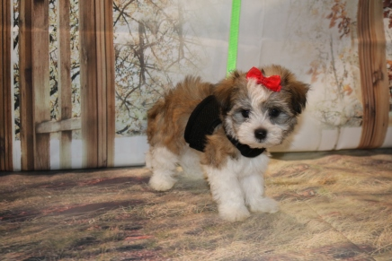 Honey Female CKC Havanese $1750 Ready 11/8 HAS DEPOSIT MY NEW HOME ORMOND BEACH, FL 1.14LB 7W2D OLD