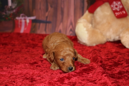 Jingles Male CKC Mini Labradoodle $2000 Ready 12/23 AVAILABLE 15.2OZ 3W OLD