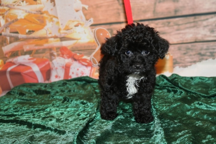 Jon Snow Male CKC Shorkipoo $1750 Ready 12/3 SOLD MY NEW HOME PHILADELPHIA, PA 2 lbs 13 oz 8W1D Old