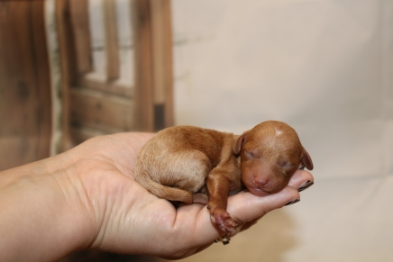 Korbel Male Cavapoo $2000 Ready 1/4 AVAILABLE 5.1 oz 1 Day Old