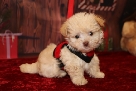 Luvy Duvy Male CKC Havanese $1750 Ready 11/22 SOLD MY NEW HOME JACKSONVILLE, FL 1.12lb 7w4d old