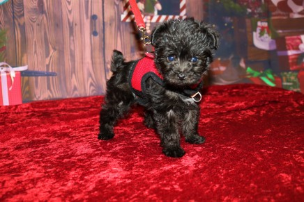 Minnie (Sophia) Female CKC Yorkipoo $2000 Ready 11/27 HAS DEPOSIT MY NEW HOME MARTINEZ, , GA 1 LB 2.5OZ 6W4D OLD
