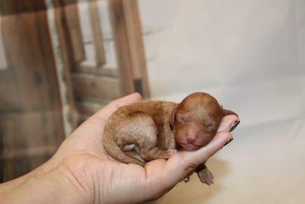 Moet Male Cavapoo $2000 Ready 1/4 AVAILABLE 6 oz 1 Day Old