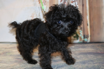 Mulligan CKC Male T-cup Yorkipoo $2000 JUST DISCOUNTED $1750 WITH ALL HIS PUPPY VACCINES SOLD MY NEW HOME FALL BRANCH, TN 2.3 lbs 13 weeks old