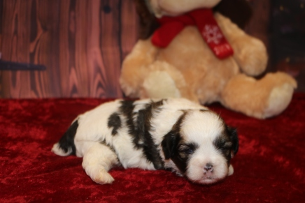 Nick Male CKC Shihpoo $1750 Ready 12/24 AVAILABLE 1.10lb 2w5d old