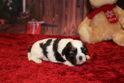 Noel Female CKC Shihpoo $1750 Ready 12/24 AVAILABLE 1.5OZ 2W5D OLD